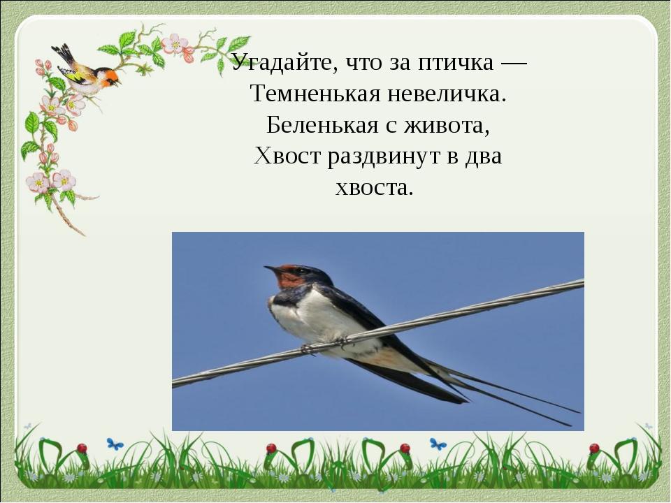 Угадайте, что за птичка — Темненькая невеличка. Беленькая с живота, Xвост ра...