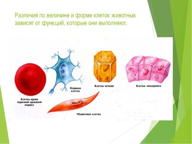 Различия по величине и форме клеток животных зависят от функций, которые они...