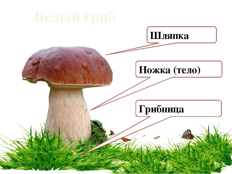 Белый гриб Ножка (тело) Шляпка Грибница