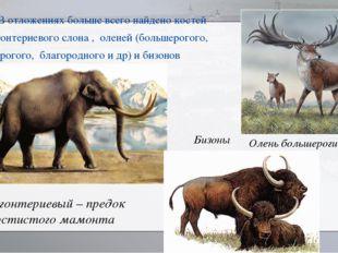 В отложениях больше всего найдено костей Трогонтериевого слона , оленей (боль