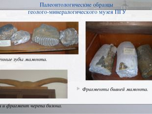 Палеонтологические образцы геолого-минералогического музея ПГУ Фрагменты бивн