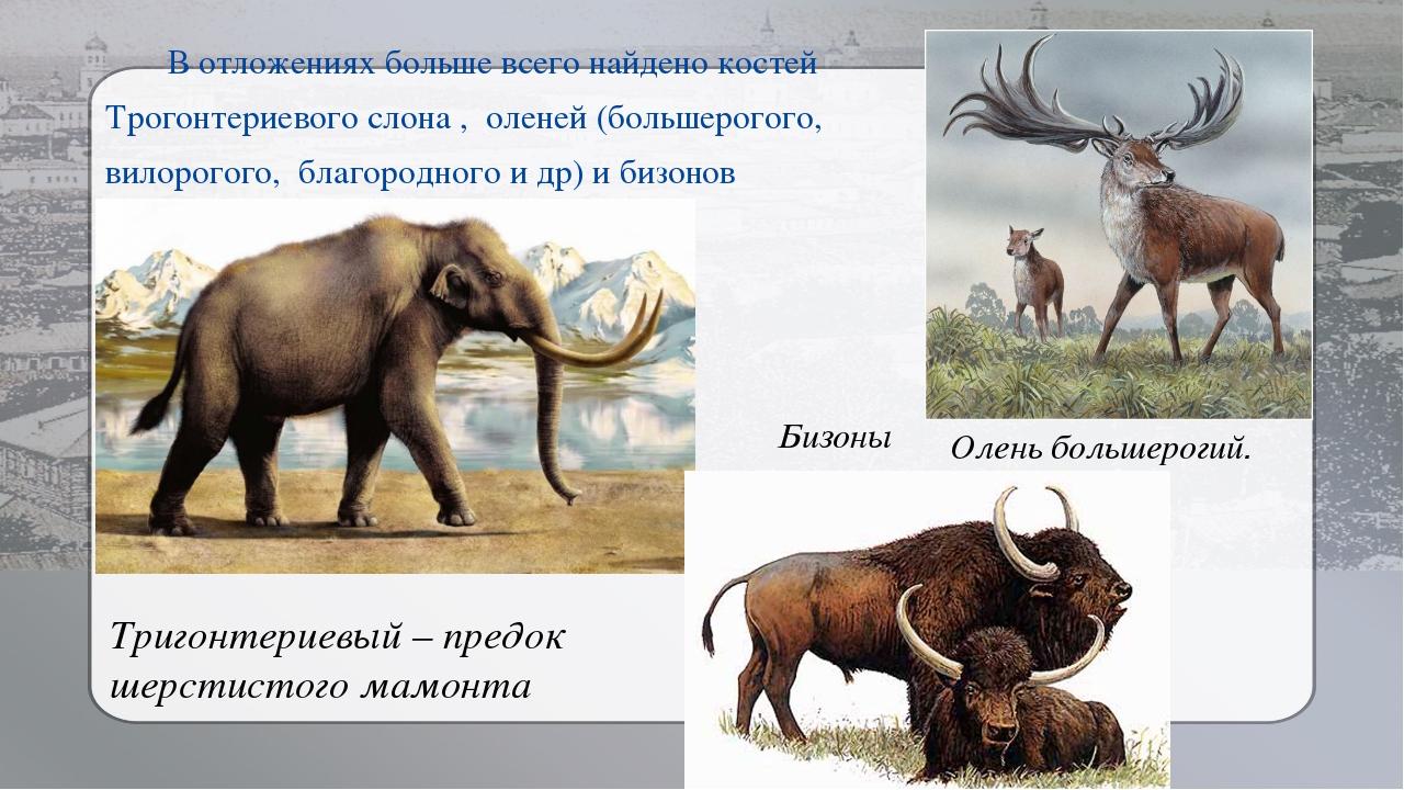 В отложениях больше всего найдено костей Трогонтериевого слона , оленей (боль...