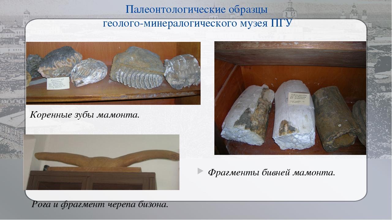 Палеонтологические образцы геолого-минералогического музея ПГУ Фрагменты бивн...