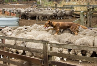 C:\Users\Olga\Desktop\Австралия урок\kelpie-working-sheep.jpg