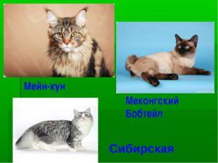 Мейн-кун Меконгский Бобтейл Сибирская