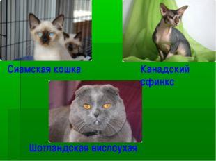 Сиамская кошка Канадский сфинкс Шотландская вислоухая