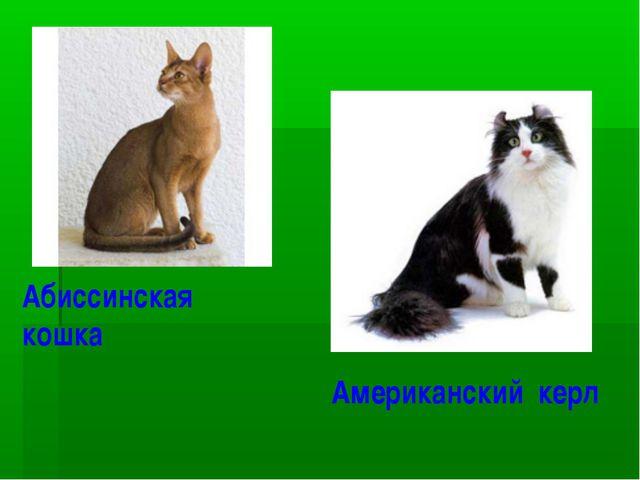 Абиссинская кошка Американский керл