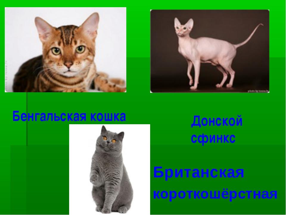 Бенгальская кошка Донской сфинкс Британская короткошёрстная