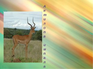 импала Антилопа импала – самая красивая и самая быстрая антилопа. Носится та