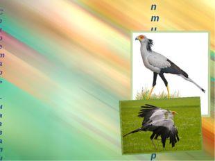 птица-секретарь Секретарь – назвали секретарём за пучок перьев на голове: пи