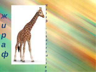 жираф Жираф – самое высокое животное на земле. Высота его почти шесть метров