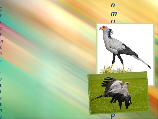 птица-секретарь Секретарь – назвали секретарём за пучок перьев на голове: пи...