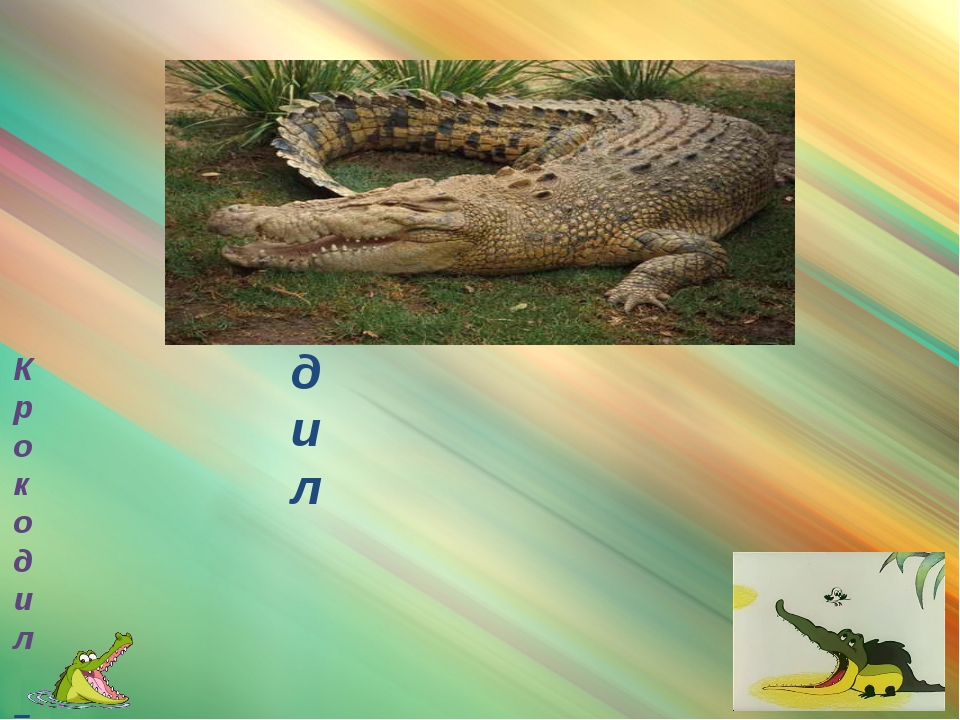 крокодил Крокодил – родственник аллигатора, но их легко отличить друг от дру...
