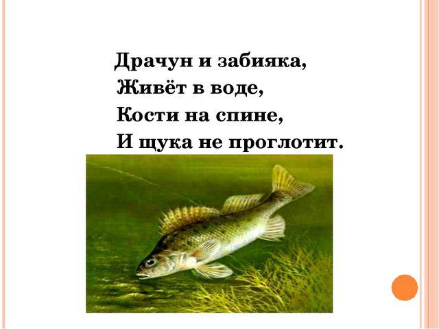 Драчун и забияка, Живёт в воде, Кости на спине, И щука не проглотит. Ёрш.