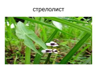 стрелолист