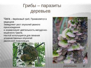 Грибы – паразиты деревьев ТРУТОВЫЕ ГРИБЫ Плодовые тела мясистые, кожистые ил