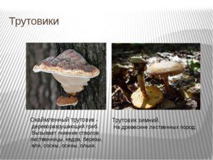 Трутовики Окаймленный трутовик - дереворазрушающий гриб. Вызывает гниение ст