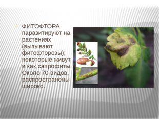 ФИТОФТОРА паразитируют на растениях (вызывают фитофторозы); некоторые живут