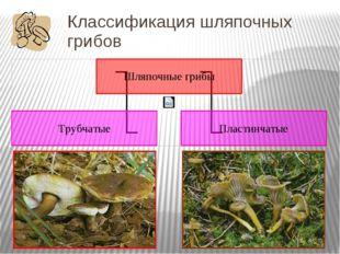 Классификация шляпочных грибов По особенностям строения шляпки шляпочные гриб