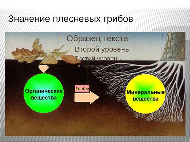 Значение плесневых грибов Велика роль грибов в круговороте веществ в природе....