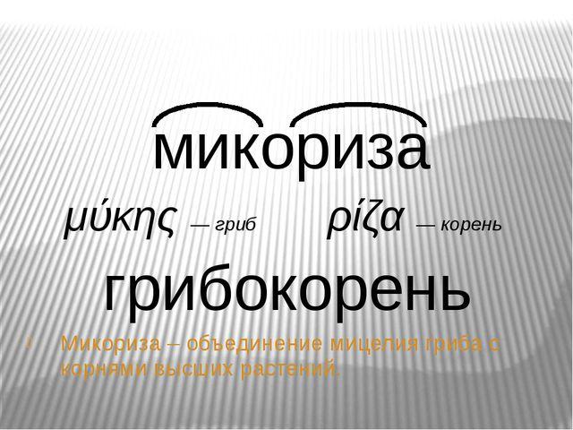 Микори́за (грибокорень) Микориза – объединение мицелия гриба с корнями высших...