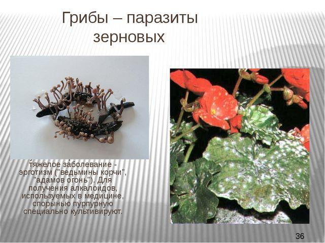 Грибы – паразиты зерновых СПОРЫНЬЯ вызывают болезнь злаков (чаще ржи) того ж...