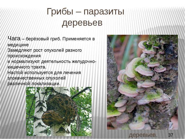 Грибы – паразиты деревьев ТРУТОВЫЕ ГРИБЫ Плодовые тела мясистые, кожистые ил...