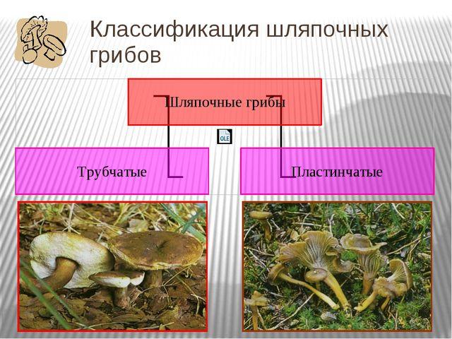 Классификация шляпочных грибов По особенностям строения шляпки шляпочные гриб...