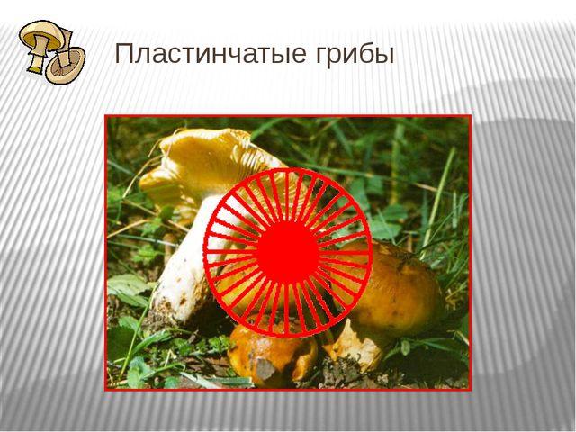 Пластинчатые грибы У сыроежки, шампиньона, груздя, валуя и многих других гриб...