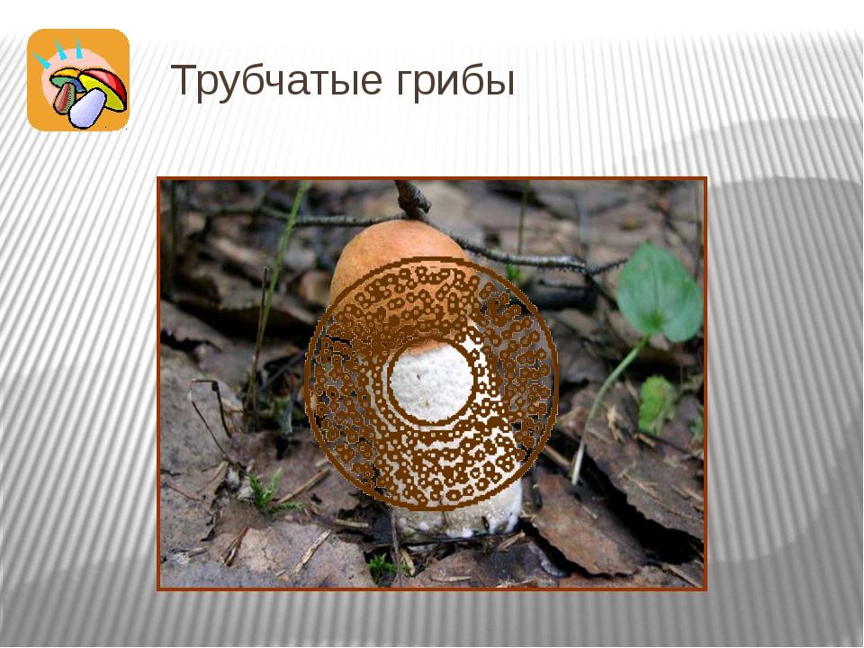 Трубчатые грибы А вот если присмотреться к нижней стороне шляпки белого гриба...