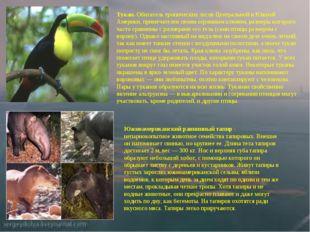 Тукан. Обитатель тропических лесов Центральной и Южной Америки, примечателен
