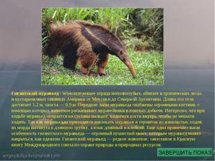 Гигантский муравьед - млекопитающее отряда неполнозубых, обитает в тропически