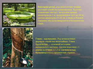 Виктория-регия,род многолетних водных растений семейства кувшинковых. Круглы