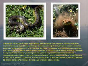 Анаконда,или водяной удав - крупнейшая змея тропической Америки. Длина пойма