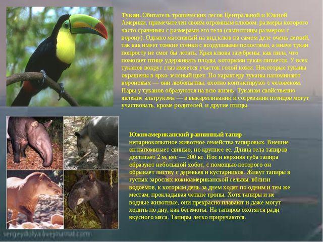 Тукан. Обитатель тропических лесов Центральной и Южной Америки, примечателен...