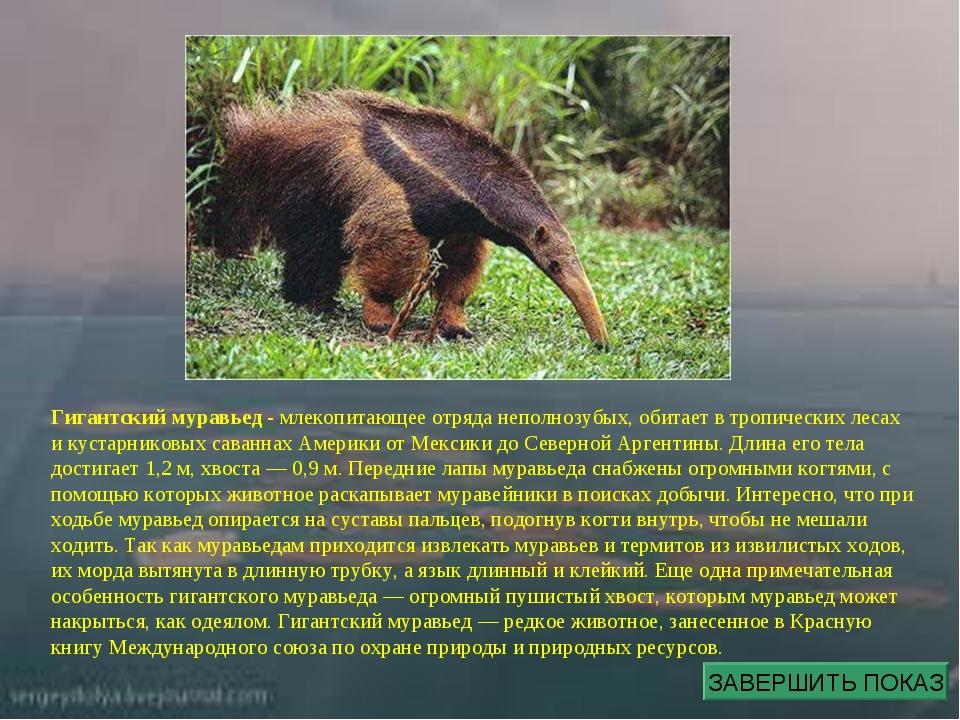 Гигантский муравьед - млекопитающее отряда неполнозубых, обитает в тропически...