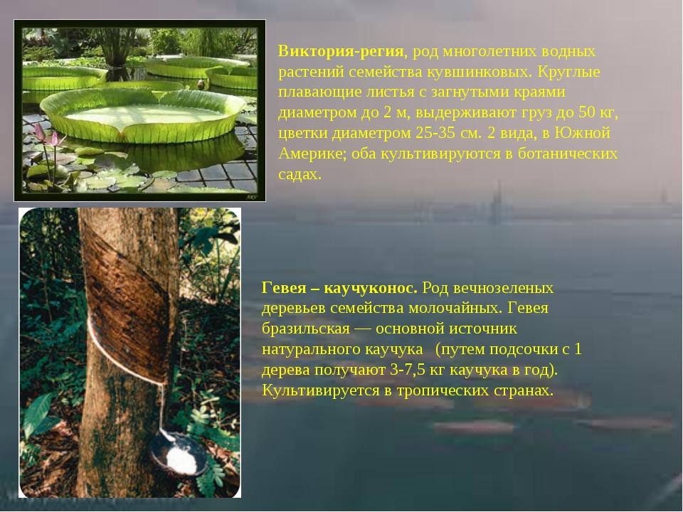 Виктория-регия,род многолетних водных растений семейства кувшинковых. Круглы...