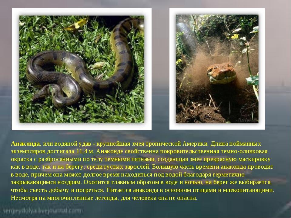 Анаконда,или водяной удав - крупнейшая змея тропической Америки. Длина пойма...