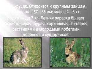 Заяц-русак. Относится к крупным зайцам: длина тела 57—68см; масса 4—6кг, ре