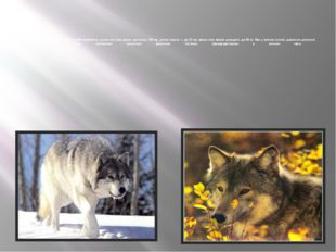 Волк— самое крупное животное в своём семействе: длина его тела может достиг