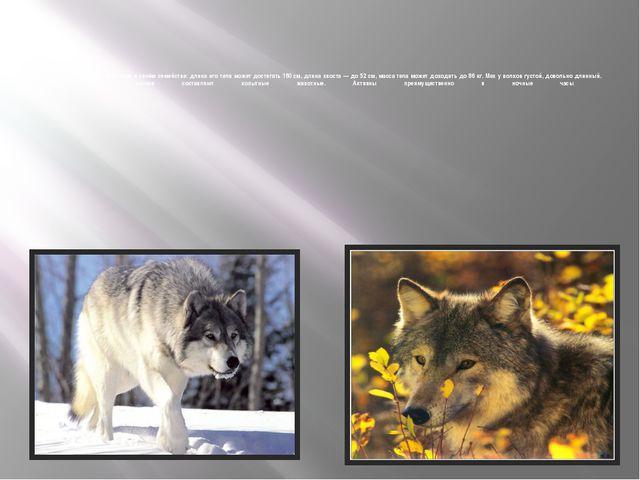 Волк— самое крупное животное в своём семействе: длина его тела может достиг...