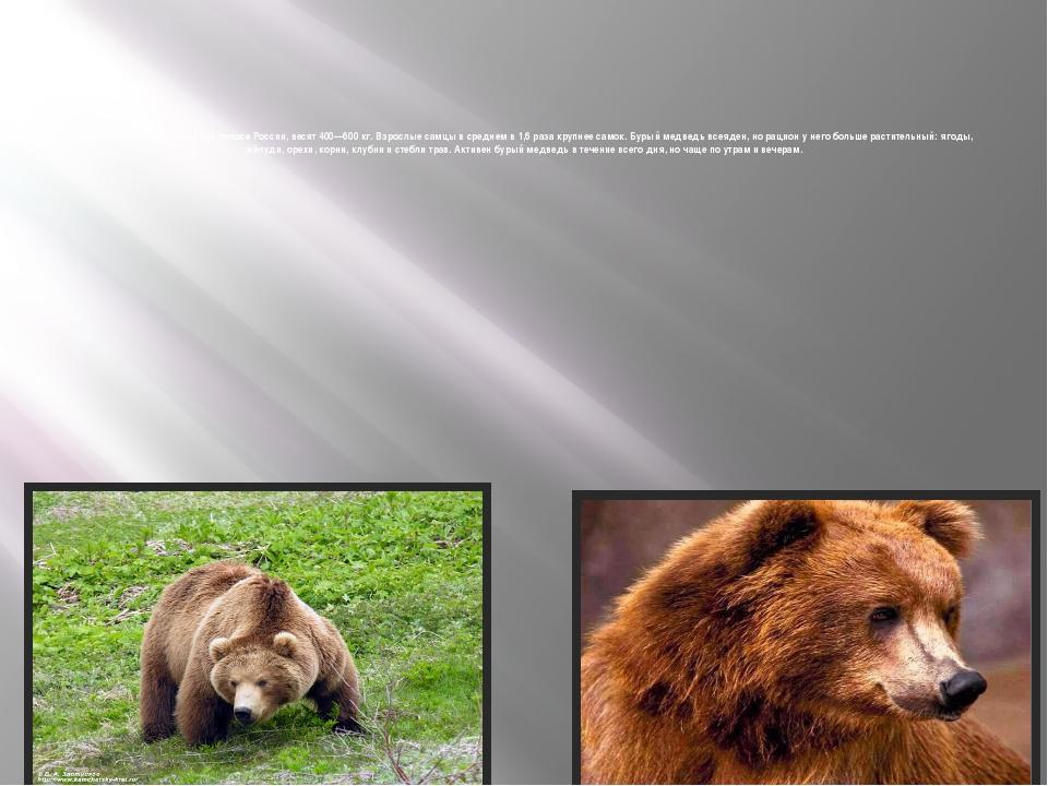 Медведи, живущие в средней полосеРоссии, весят 400—600кг. Взрослые самцы в...