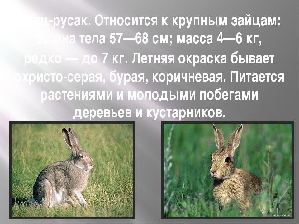 Заяц-русак. Относится к крупным зайцам: длина тела 57—68см; масса 4—6кг, ре...