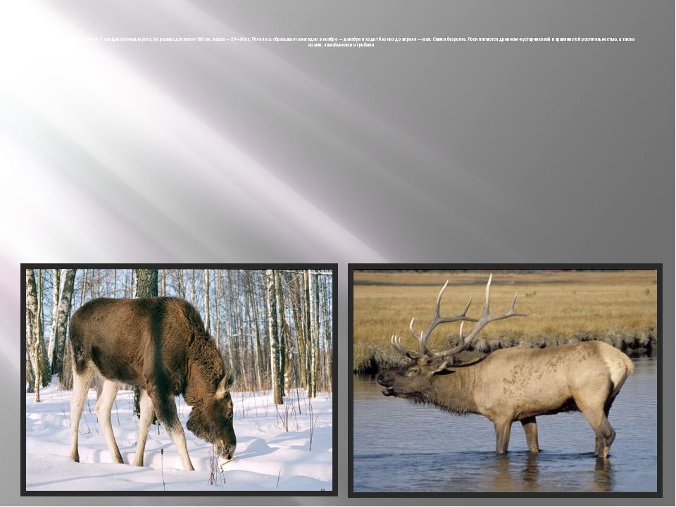 Длина теладо 3метров. У самцов огромные рога. Их размах достигает 180см,...