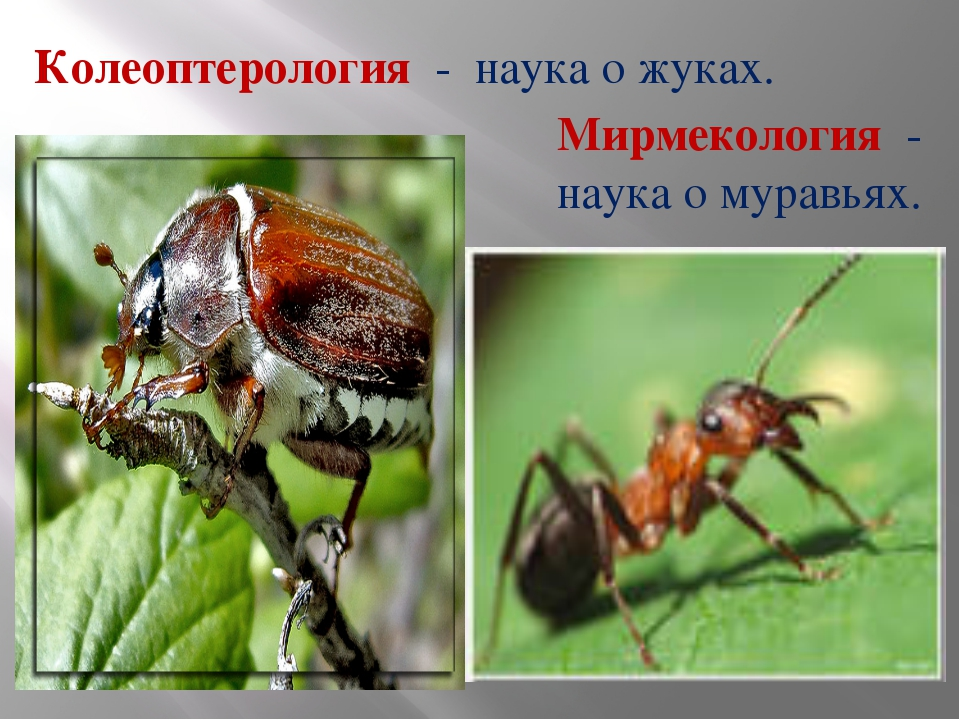 Колеоптерология - наука о жуках. Мирмекология - наука о муравьях.