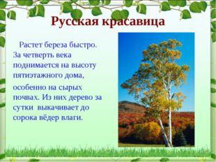 Русская красавица Растет береза быстро. За четверть века поднимается на высот