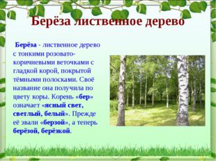 Берёза лиственное дерево Берёза - лиственное дерево с тонкими розовато- корич