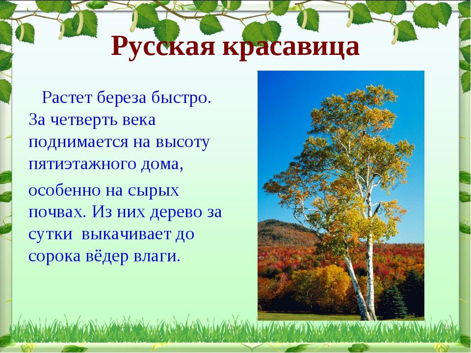Русская красавица Растет береза быстро. За четверть века поднимается на высот...