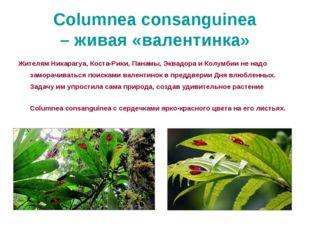 Columnea consanguinea – живая «валентинка» Жителям Никарагуа, Коста-Рики, Пан