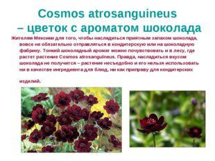 Cosmos atrosanguineus – цветок с ароматом шоколада Жителям Мексики для того,